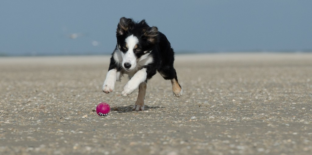 young-border-collie-662706_1280