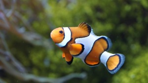 clownfish-426567_1280